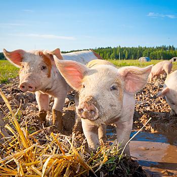 Benessere Animale Protezione Dei Suini Allevati