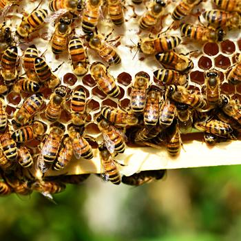 immagini di alcune api